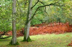 New Forest NP, Hampshire, UK (east med wanderer) Tags: england hampshire uk newforestnationalpark nationalpark oak holly bracken lyndhurst