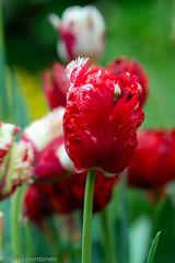 Flowers @Garden (aixcracker) Tags: nikond800 spring vår kevät may maj toukokuu porvoo borgå suomi finland europe europa eurooppa flower blomma kukka macro makro nikonafs200mmf4micro
