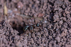 Ants - May 2019 IV (boettcher.photography) Tags: natur naturfotografie nature makro makrofotografie macro insect insekt tier animal ameise ant sashahasha boettcherphotography boettcherphotos