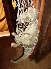 kerkrade_081 (OurTravelPics.com) Tags: kerkrade statue young tyrannosaurus rex dinodome limburg area gaiazoo