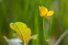 Buttercup - May 2019 (boettcher.photography) Tags: natur naturfotografie nature makro makrofotografie macro flowers flower blume blumen blossom blüte sashahasha boettcherphotography boettcherphotos buttercup butterblume