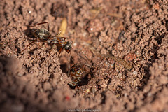 Ants - May 2019 II (boettcher.photography) Tags: natur naturfotografie nature makro makrofotografie macro insect insekt tier animal ameise ant sashahasha boettcherphotography boettcherphotos