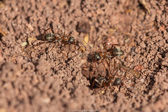 Ants - May 2019 I (boettcher.photography) Tags: natur naturfotografie nature makro makrofotografie macro insect insekt tier animal ameise ant sashahasha boettcherphotography boettcherphotos