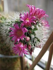Kaktusblüten (✿ Esfira ✿) Tags: blumen flowers kaktus cactus