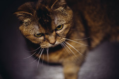 2019.5.29 : 12/365 (Nazra Z.) Tags: munchkin cat female sitting closeup portrait pet animal indoors okayama japan 2019 raw vscofilm