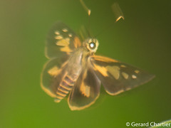 Pyroneura margherita miriam (Spot-conjoined Lancer) (GeeC) Tags: tatai hesperiidae pyroneura cambodia animalia nature hesperiinae lepidoptera hesperioidea kohkongprovince insecta arthropoda plastingiagroup pyroneuramargheritamiriam butterfliesmoths skipperbutterflies spotconjoinedlancer