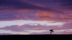 Dusk Alone (Wilson Au | 一期一会) Tags: australia victoria morningtonpeninsula dusk color silhouette tree sunset alone canon eos5dmarkiii ef70200mmf4lisusm landscape lonesome lonely