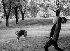 ???? Dog puzzled by  'Ape' practices. (adamnsinger) Tags: bertie scottish deerhound leica tmax 400 kodak verulamium park st albans cl film black white m s optical 50mm 11