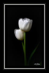 A Duet (cd32919) Tags: flower fleur flora nature white colorful petals stem bloom blossom plant beautiful floral bud petal blooming cyndydoty tulip fineart