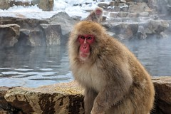 Portrait of a Snow Monkey (chasingthelight10) Tags: approved