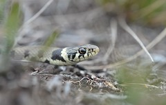 (Very) Barred Grass Snake (Natrix helvetica) 1 of 2 (willjatkins) Tags: animal wildlife nature wildlifeofeurope europeanwildlife reptiles reptile reptilesofeurope europeanreptiles snakes snake snakesofeurope europeansnakes grasssnake barredgrasssnake natrix natrixnatrixhelvetica natrixhelvetica britishwildlife britishamphibiansandreptiles britishreptilesandamphibians britishreptiles britishsnakes ukwildlife ukreptilesandamphibians ukamphibiansandreptiles ukreptiles uksnakes dorsetwildlife dorsetreptiles dorsetsnakes heathlandwildlife heathland heathlandreptiles nikond610 nikon sigma105mm closeupwildlife closeup macro macrowildlife
