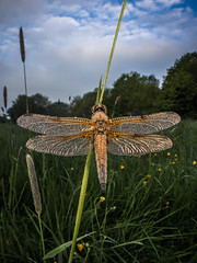 Meadow warrior (Eifeltopia) Tags: wingman libelle vierfleck dragonfly laowa wideangle macro südeifel eifel meadow feuchtwiese drops dew tau lucky aligned ausgerichtet trampled libellulaquadrimaculata segellibelle thorax hairy behaart fourspottedskimmer bitburgprüm acquaintances butterblumen closeup bewölkt bluesky blue littlefly eintagsfliege kleinefliege 4wings