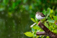 Solitude (craig goettsch) Tags: sanibel2019 dingdarlingnwr florida rain shower green sandpiper spottedsandpiper bird avian nature wildlife animals nikon d500