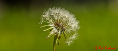 Dandelion (red.richard) Tags: dandelion seeds close up grass nikon d800 cof072 cof072uki cof072chri