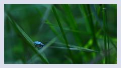 Minuscule (Dans ma nébuleuse) Tags: flou couleur amateure aisne picardie objectif 50mm 100d canon herbe minuscule bleu insecte macro bokeh nature
