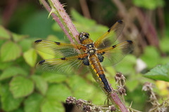 Four Spotted Chaser (Hugobian) Tags: paxton pits pentax k1 dragonfly dragonflies insect nature wildlife fauna four spotted chaser