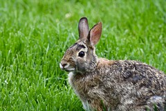 Eastern Cottontail (Linda Ramsey) Tags: