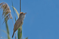 Great Reed Warbler - Rouxinol-grande-dos-caniços (anpena) Tags: birds birdphotography passerines warblers reedwarblers greatreedwarbler