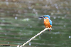 Male Kingfisher on May Bank Holiday (raven fandango) Tags: male kingfisher perched perch perching post may 2019 rspb rye meads spring british birds bird birding blue bokeh britain canon countryside centre eos 7dmkii 100400 400mm dof england english hertfordshire herts hoddesdon life nature photography photo photos park red reserve stick trust uk unitedkingdom wildlife wildbirds wild wetland water
