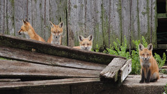 Fox Kits (wdterp) Tags: fox kits redfox carnivore
