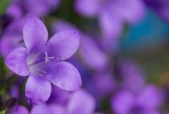 Campanule. (Azariel01) Tags: 2019 belgique belgium brussels bruxelles blooming fleur flower floraison campanule campanula bellflower