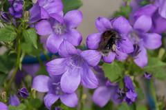 Bourdon sur campanules.DSC_0296-1 (Azariel01) Tags: 2019 belgique belgium brussels bruxelles blooming fleur flower floraison campanule campanula bellflower bourdon bumblebee