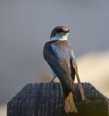 Tree swallow (Lhallwildlife) Tags: canon100400 canon7dmk2 ncalifornia backyardbirds barnswallow