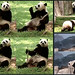 Mei Xiang (All this eating has exhausted me so I'm heading indoors now folks. Okay visitors, don't get too excited–I'm only indoors to take a nap.) 2019-05-29 @ 10.49.56–.59.11