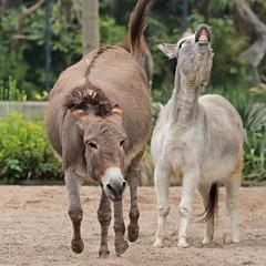 donkey artis 094A1123 (j.a.kok) Tags: animal artis zoogdier dier mammal ezel donkey dwergezel