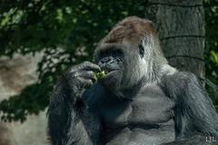 149/365 Bokito (Eljee-) Tags: blijdorp dierentuin diergaarde zoo 365the2019edition 3652019 day149365 29may19 bokito gorilla blijdorpzoo