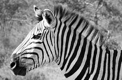 Serious zebra (Desire2Travel) Tags: zebra south africa safari african southafrica blackandwhite wild wildzebra stripes thulathula conservation