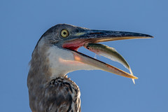 Great Blue Heron Catching Closeup (dbadair) Tags: outdoor seaside shore sea sky water nature wildlife 7dm2 7d ii ef100400mm ocean canon florida bird