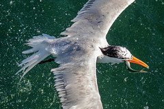 Royal Tern Inflight Catching (dbadair) Tags: outdoor seaside shore sea sky water nature wildlife 7dm2 7d ii ef100400mm ocean canon florida bird