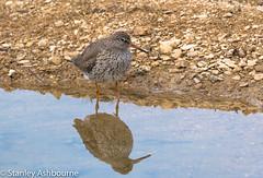 Redshank (stanley.ashbourne) Tags: bird redshank nature wildlife stanashbourne wildlifephotography