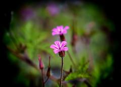 fm5 (KRR_3) Tags: sony a6000 nex sel50f18 spring flowers dof bokeh
