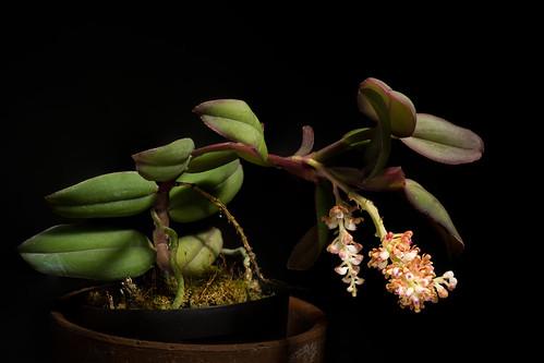 [Luzon, Philippines] Robiquetia ilocosnortensis Calaramo, Cootes & Gaspar, OrchideenJ. 25(1): 41 (2018)