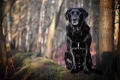Proud. (Marcus Legg) Tags: max dog petportrait pet dogs animal outdoors woods woodland forest bokeh trees blacklabradorretriever black labrador retriever