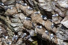 Mouettes tridactyles (Oric1) Tags: breizh france birding oric1 côtesdarmor nature plévenon canon armorique eos wildlife ornithology bird ornithologie sigma 120300mm f28 dg os hsm sports fréhel oiseau brittany 22 bretagne sigma120300mmf28dgoshsmsports jeanlucmolle