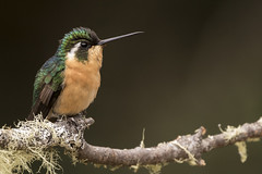 White-bellied Mountain-Gem (KarsKW) Tags: birds bird birding costa rica aves los quetzales national park cabinas el quetzal beautiful outdoor nature wildlife photography canon eos 750d travel beauty karskw kars klein wolterink