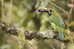 Emerald Toucanet (KarsKW) Tags: birds bird birding costa rica aves los quetzales national park cabinas el quetzal beautiful outdoor nature wildlife photography canon eos 750d travel beauty karskw kars klein wolterink