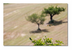 Guepier L14 Bd Rd1 _MG_1454-3 (thierrybarre) Tags: guepier beeeater oiseau nature faune ornitho