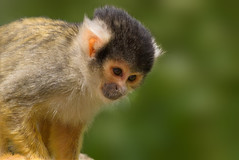 Squirrel monkeys portrait (Robert Stärz) Tags: squirrel monkey everland animal face looking expression glass play eye nature wonder watcher wildlife monkeys squirrelmonkeys squirrelmonkey portrait beauty canon eos