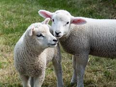 lyscombe lambs (mikejsutton) Tags: ansty dorset mike sutton bulbarrow lambs lamb lyscombe farm chapel ruin field countryside interior tree