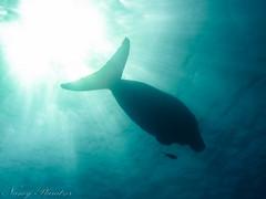 treuer Begleiter <3 (Planitzer Pictures) Tags: dugong seekuh fisch begleiter treue meer rotes sea red gegenlicht lichtstrahlen rays redsea abudabbab rotesmeer
