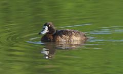 Greater Scaup (Aythya marila) female (Gavin Edmondstone) Tags: aythyamarila greaterscaup duck bird female bronteharbour oakville ontario