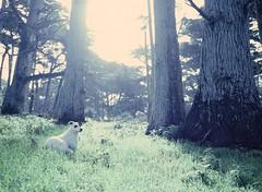 Cypress dog. Mamiya 645 ektachrome (abe.ammar.n) Tags: