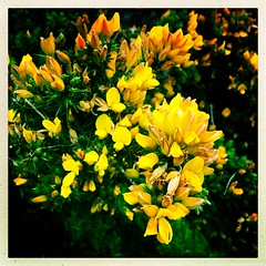 May Gorse (Julie (thanks for 8 million views)) Tags: 100xthe2019edition 100x2019 image62100 gorse flower ireland irish flora squareformat hipstamaticapp colourful green yellow wild bright hggt wildflower nature