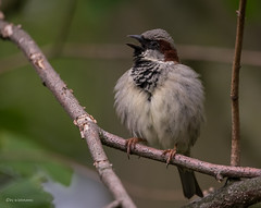 nur ein kleiner Spatz (wernerlohmanns) Tags: wildlife outdoor natur vögel sperlingsvögel singvögel haussperling sigma150600c schärfentiefe deutschland nabu nsg