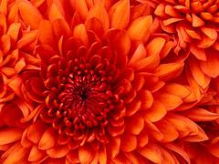 Chrysanthemum (COMPUGO18) Tags: