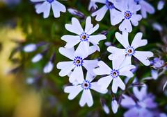 A pot full of lovely... (judy dean) Tags: judydean 2019 garden lensbaby flowers alpines